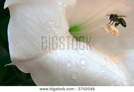 Bee And Angel Trumpet