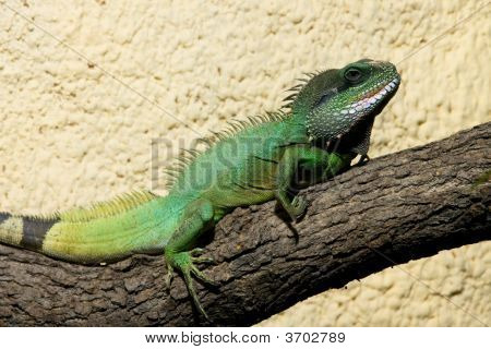 Big Green Lizard