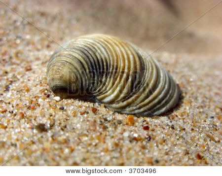 Cockleshell On A Sand.