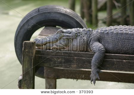 Large Alligator Sleeping