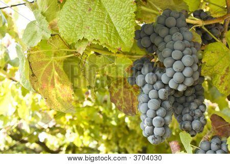Racimo de uva madura