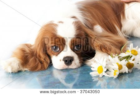 with sad spaniel eyes, Cavalier king charles spaniel dog and flowers chamomile