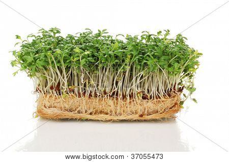Frische Kresse-Salat, isolated on white