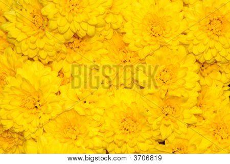 Yellow Chrys Bckgrd47
