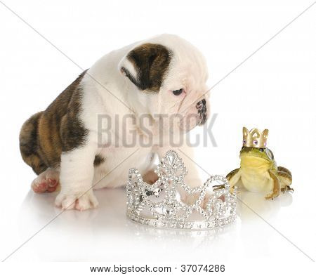 fairytale concept of kissing handsome prince - english bulldog princess kissing handsome prince frog wearing crown