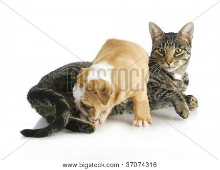 cat and puppy interacting - english bulldog puppy climbing on mixed breed cat on white background
