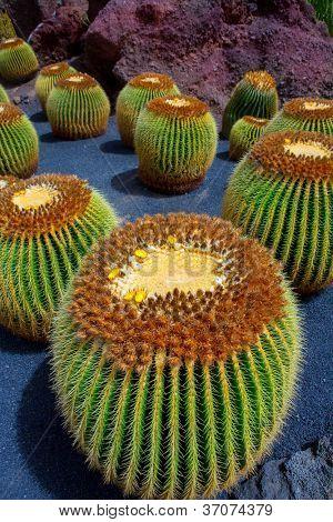 Lanzarote Guatiza cactus garden Cactaceae Echinocactus Macrocentra from Mexico
