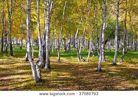 Golden Autumn in Siberia, Russia.