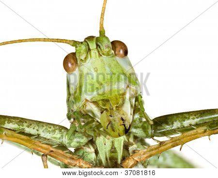 Extreme Macro shoot of Bush Cricket Head