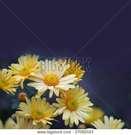 chamomile glowers on blue