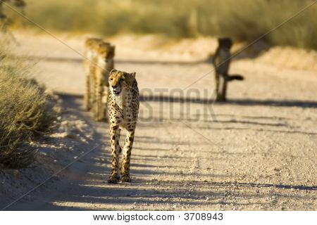 Cheetah Family Walking On Dirt Road