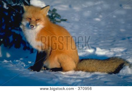 Fox Facing Sun