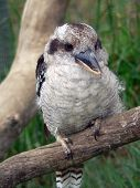 picture of blue winged kookaburra  - laughing kookaburra - JPG