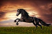 stock photo of chestnut horse  - Beautiful black friesian stallion running gallop on the field on sunset - JPG