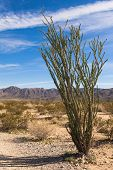 foto of ocotillo  - Ocotillo in the Sonora Desert part of Joshua Tree National Park California - JPG