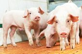 stock photo of pig-breeding  - group of young piglet at pig breeding farm - JPG