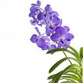 Постер, плакат: Граница Орхидея цветок Ванда голубая изолированные на белом