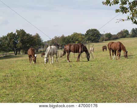 Herd Of Horses On Pasture