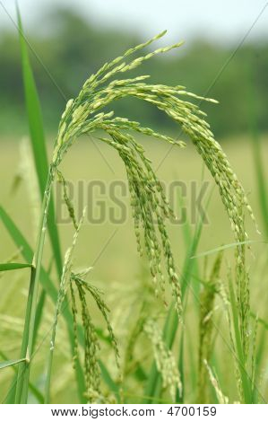 Rice Paddy Close Up