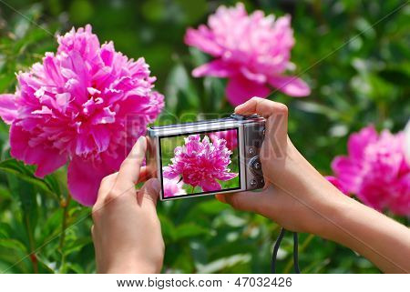 Taking Photo Of Pink  Peony In The Garden