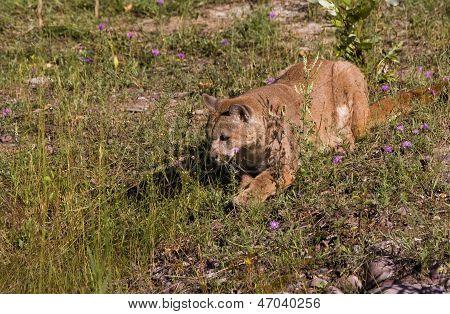 Puma Watching Prey