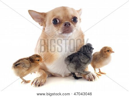 Young Chicks And Chihuahua