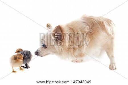 Chicks And Chihuahua