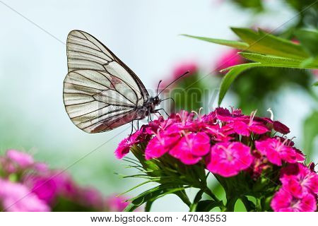 The Butterfly Sits On Flowers