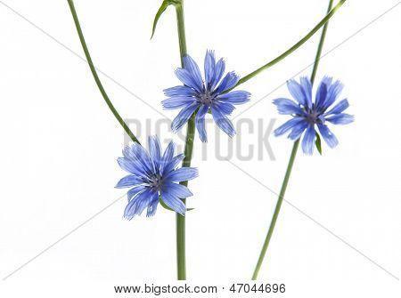 Blue Wild flowers isolated on white