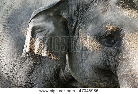 Elephant close up seeing skin texture and spots