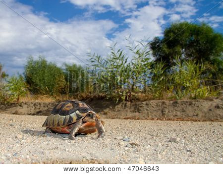 Bowsprit / Angulate tortoise