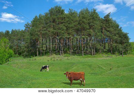 Edge Pine Forest