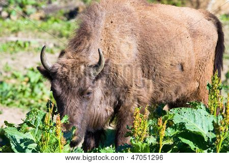 Shot Of An Aurochs