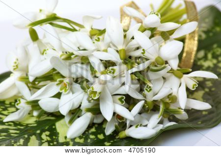 Wonderful Bouquet Of Snowdrop.