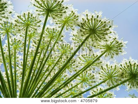 Hogweed close-up in the field