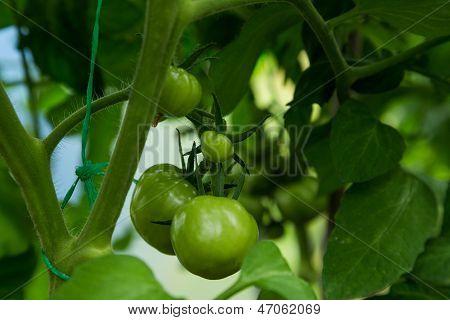 Unripe Green Tomato On Shrub In Hothouse