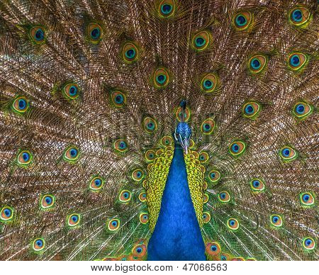 Peacock With A Colorful Raised Train