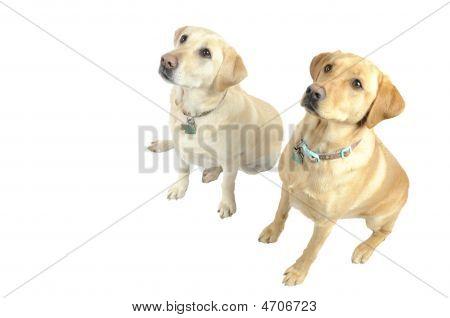 White Labradors