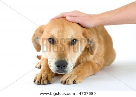 Brown Puppy, Isolated