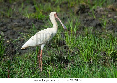 African Spoonbill Standing In Grass