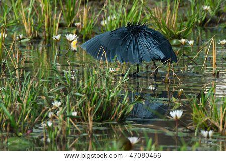 Black Egret Standing In Umbrella Pose