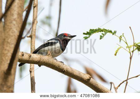 Female Common Wattle-eye Perching