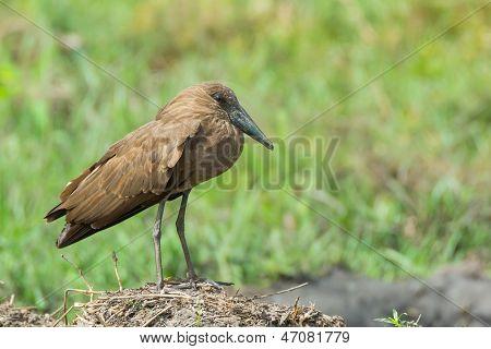 Hammerkop Posing On Outcrop