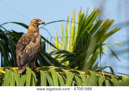 Juvenile Palm Nut Vulture