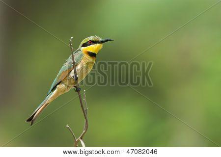 Little Bee-eater Perching