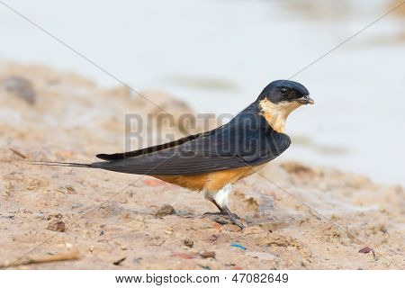 Mosque Swallow Gathering Mud