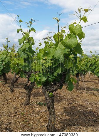 White Chenin Vineyard After Blossoming, Layon, France