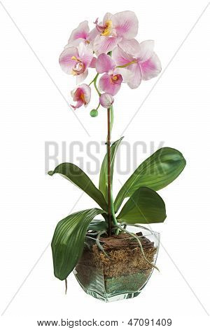 Orchid In Glass Flowerpot Isolated On White Background.