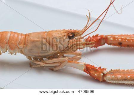 Nephrops Norvegicus Or Norway Lobster 5