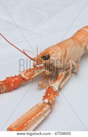 Nephrops Norvegicus Or Norway Lobster 2